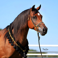 EF1G9747-Gale-Arabians