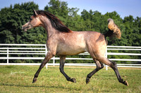 GR0I8515-Gameela RH, 2014 filly by Ansata Suleyman