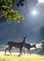 _LC_7785-LF+Deer in morning light