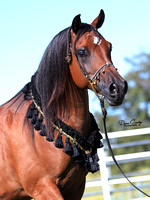 EF1G9703-Gale-Arabians